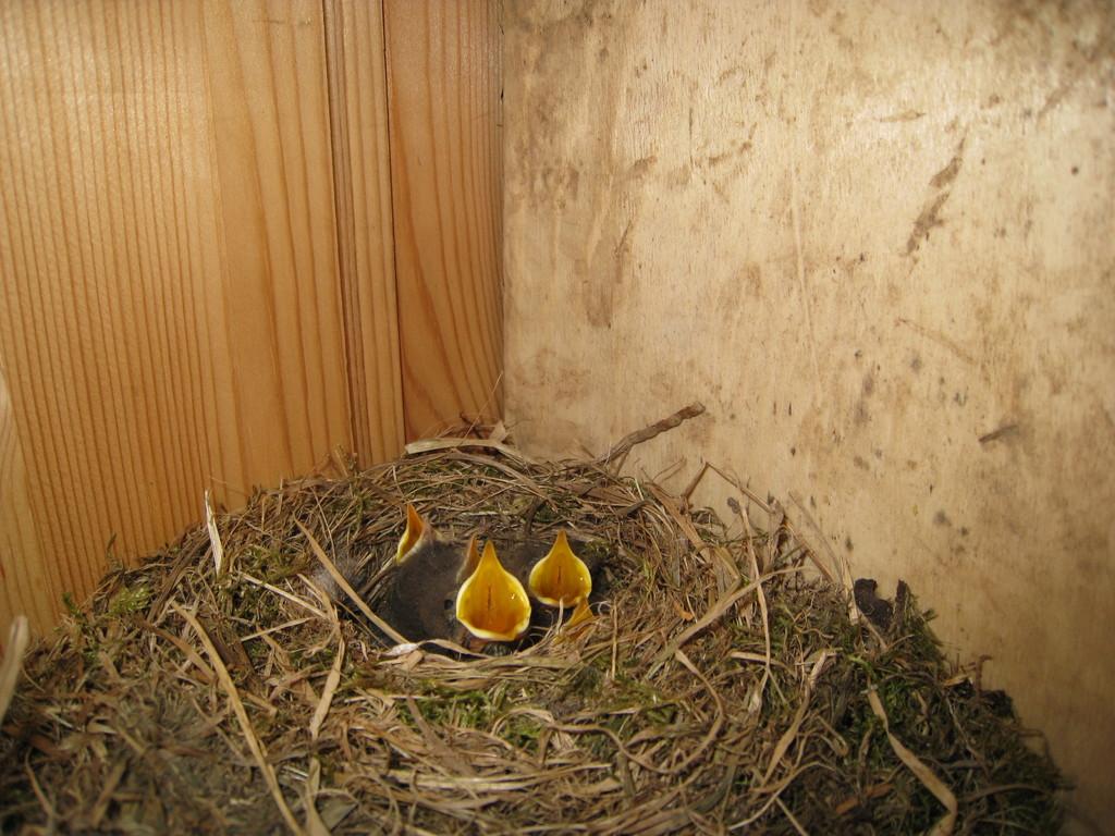 Vogelnachwuchs in unserer Hütte!