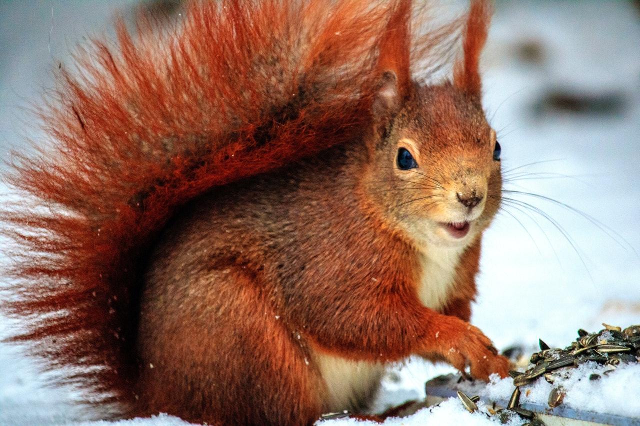 Was fressen Eichhörnchen im Winter?