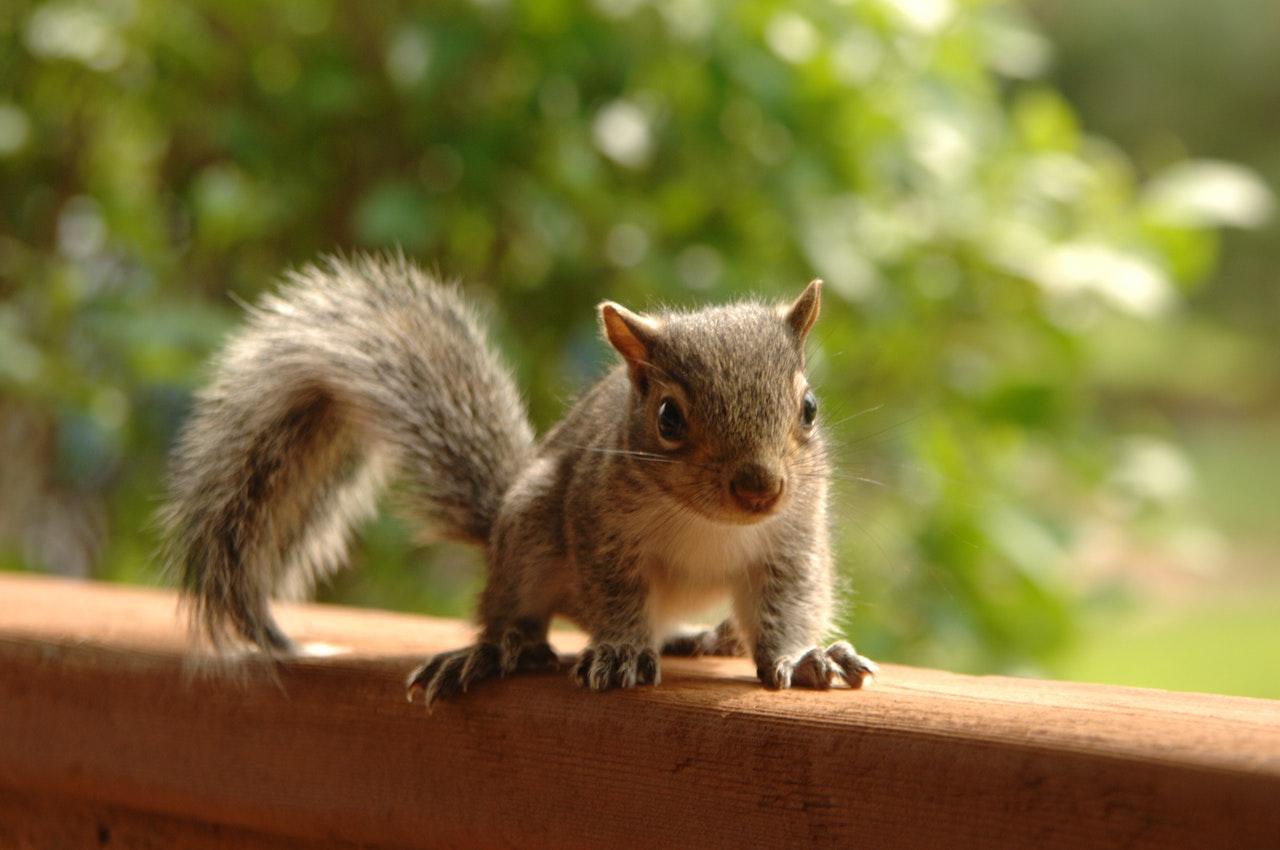 Eichhörnchen füttern: Vier Dinge, die das Leben von Eichhörnchenbabys schützen