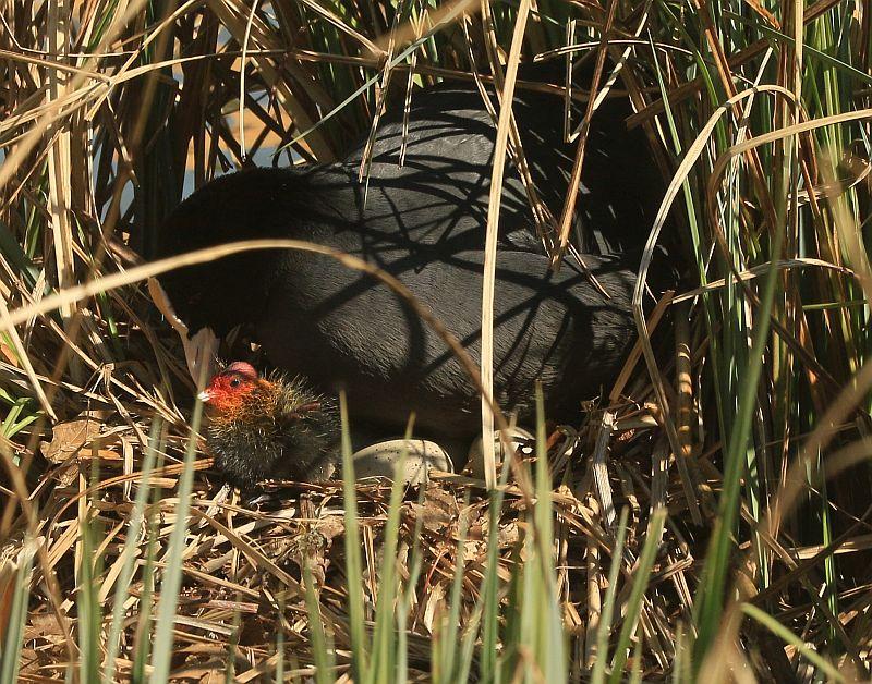 05. April 2020: die ersten Küken der Blässhühner sind da!