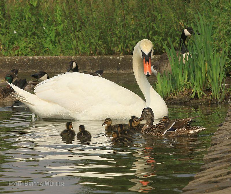 Juni 2020: Kleine Entenküken bereichern den See