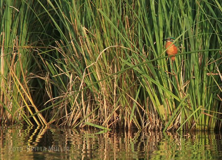 Eisvogel auf Sitzwarte über dem Wasser