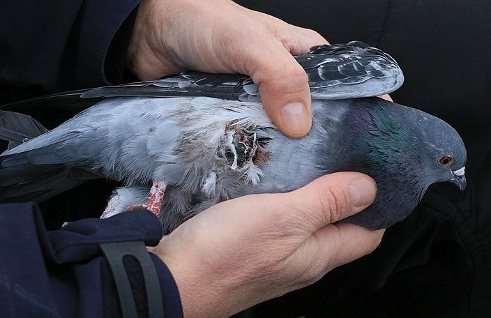 Verletzte Taube mit doppeltem Beinbruch ...