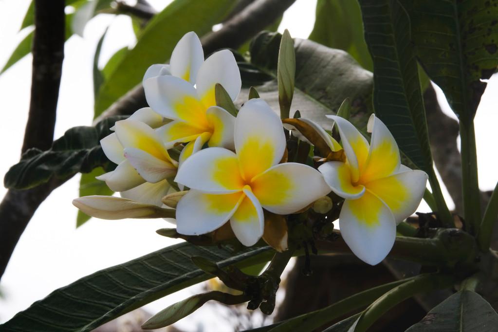 · mauritius · flowers · yak © 2010 RK