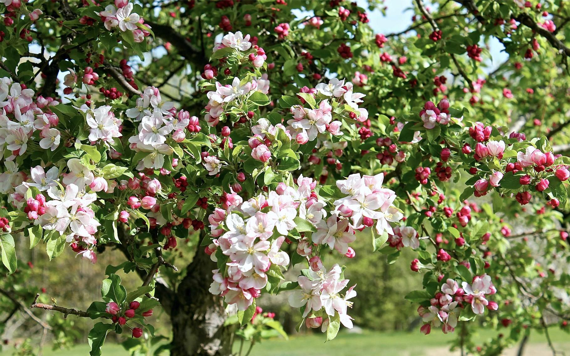 решили, фотографии цветущих фруктовых деревьев что старшая наследница