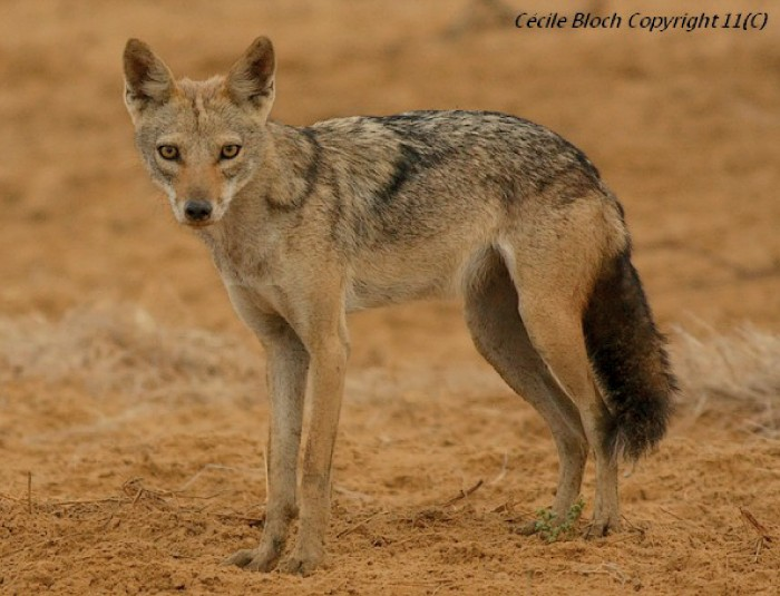 Photo © Cécile Bloch on Public Library of Science. A Senegalese golden wolf near Kheune, Senegal. CC BY 3.0