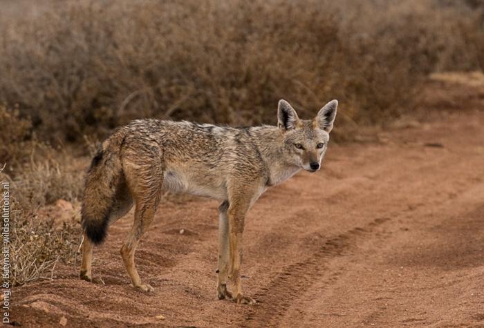 Photo © Yvonne A. de Jong & Tom Butynski on iNaturalist.org. Samburu North, Kenya. CC BY-NC-SA 4.0