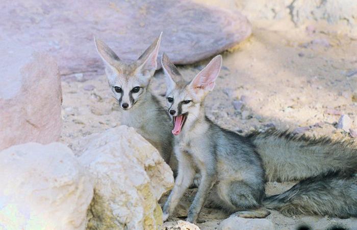 Photo © David Blank / Animal Diversity Web. Hai-Bar Yotvata nature reserve, Israel. CC BY-NC-SA 3.0