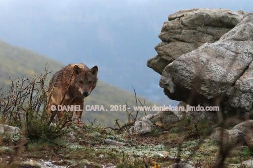 Lobo macho,  líder de un grupo de cuatro individuos, sierra del Suido ( Pontevedra )