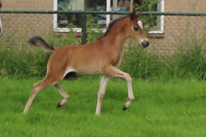 Vliedberg's Dancing Dexter, 2016, colt (Fairywood Tomboy (imp. UK),  sold