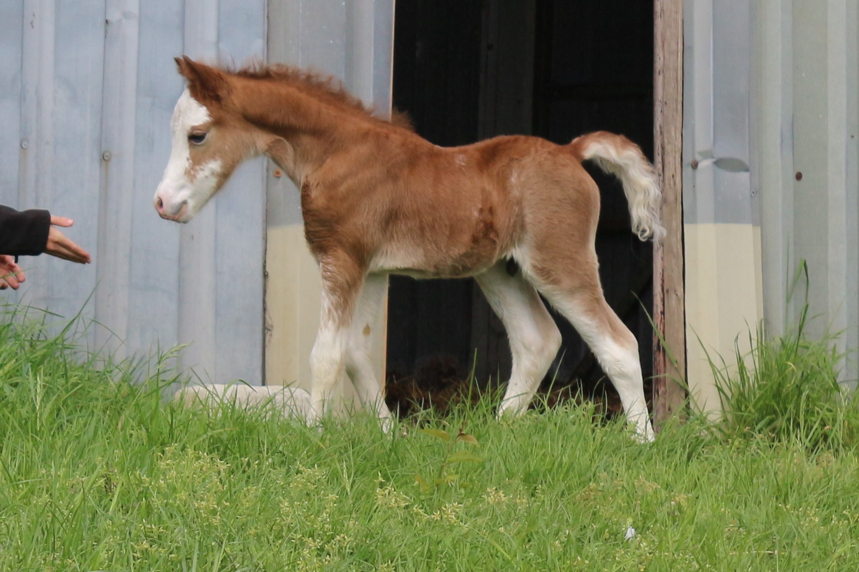 Oostdijk's Ceridwen Mírdain, 2020, colt (Vollenhofs Galactic Power), FOR SALE