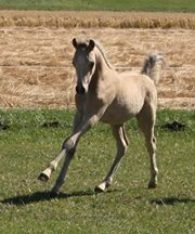 Oostdijk's D. Royal Nijinski as a foal