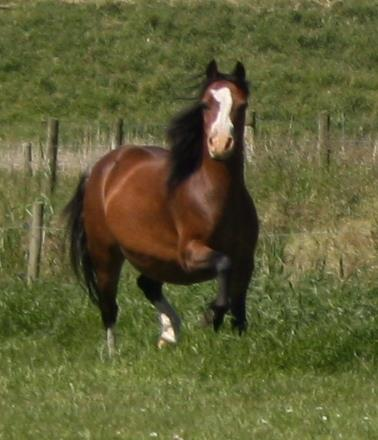 Vechtzicht's Cascade, 1998, mare, bay, retired from breeding
