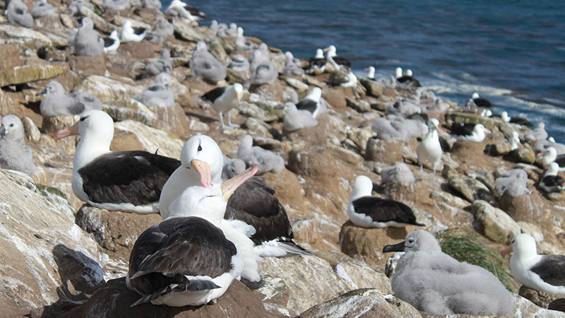 "Albatross ""Falkland Islands"""