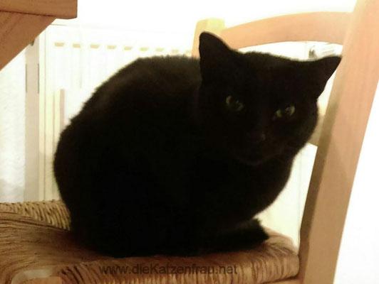 Ein kleiner, schwarzer Prinz  - Catsitting - die Katzenfrau