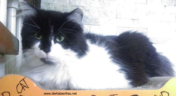 Charlie - Catsitting Saarlouis