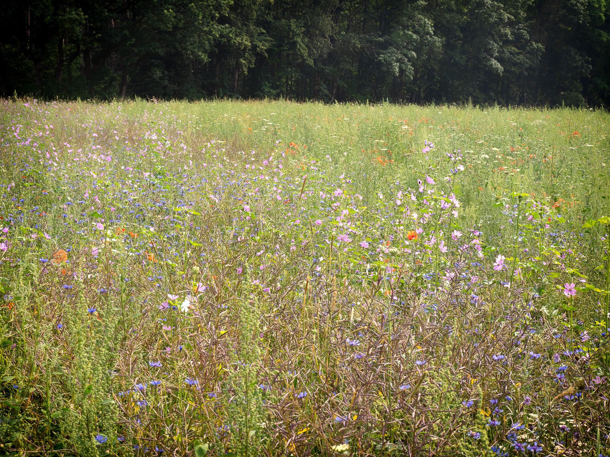 Streifen mit überwiegend Kornblumen und Malven hochwüchsig