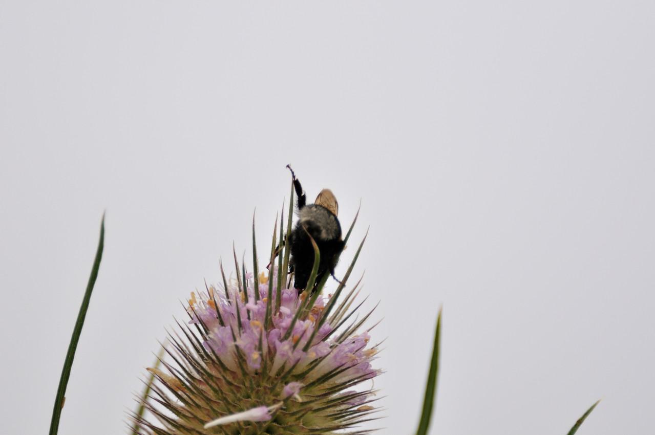 Insektenbesuch auf der Kardendistel