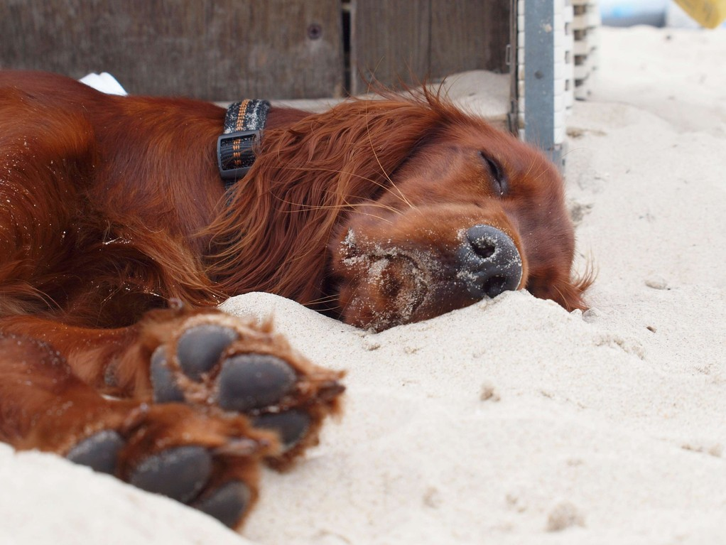 Nach 1 Woche kann Hanni auch mal am Strand schlafen!