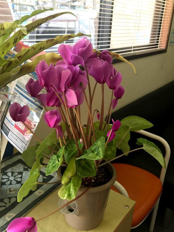 教室での栽培歴4年目のシクラメンは花盛り。