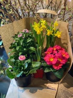 3  Überraschungstüte für Balkon oder Beet, Frühlingsblüher gemischt - Frisch von regionalen Gärtnern, 10 €