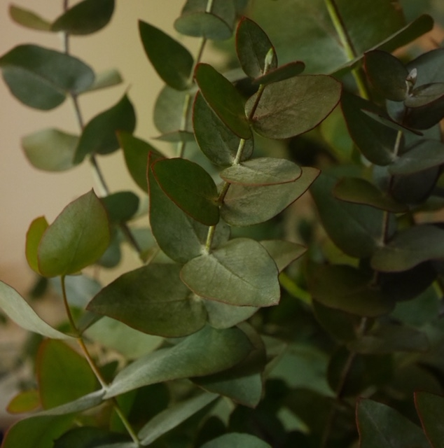 Eukalyptuszweige und Eukalyptuskränze