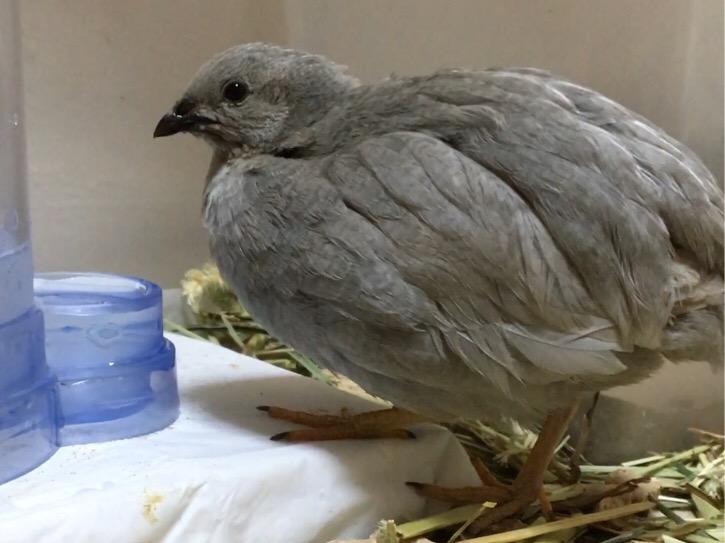 15通算6羽の子を孵化させたビッグママ、カリメロ母さん