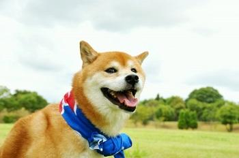 柴犬 成犬 画像