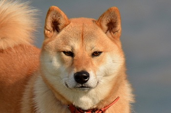柴犬 可愛い 画像