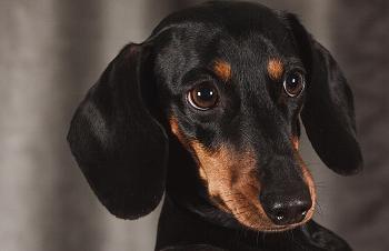 ミニチュアダックスは世界的に人気な犬種