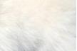 """クリームポメラニアンは、祖先である""""サモエド""""の色"""