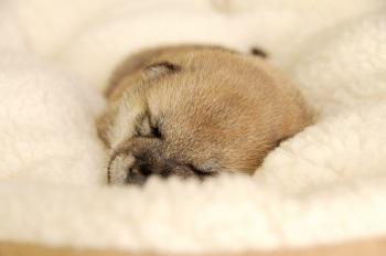 柴犬の子犬 画像
