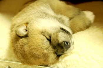 柴犬 子犬 画像 可愛い