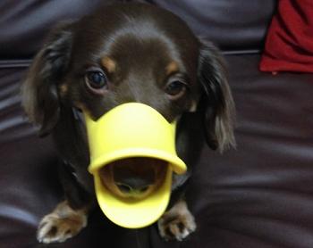 ダックスフンドが成犬時に注意するべき病気とは?