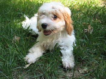 子犬期から成犬期までの運動能力を解説