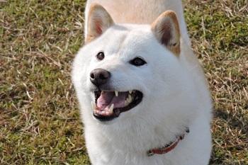 白い柴犬の画像