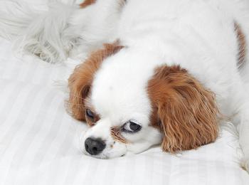 (去勢手術後、犬は肥満になりやすくなる)