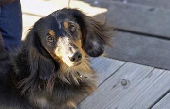 ミニチュアダックスフンドを含め、犬はすぐに大人になる。その時の注意点は?