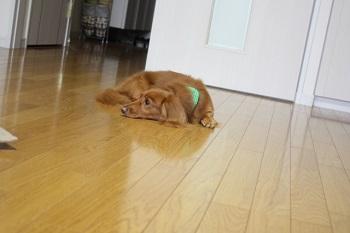 犬 留守番嫌いを克服させる方法