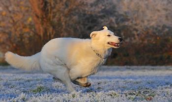 ぐいぐい飼い主を引っ張る犬も多い