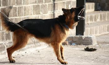 (犬は吠える動物、無駄吠えは本能で初めは仕方ない)