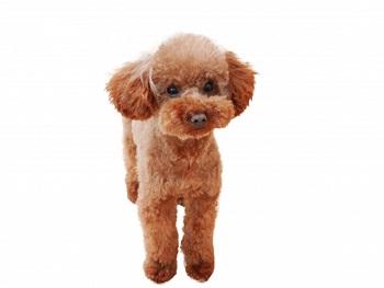 トイプードルは人気No,1犬