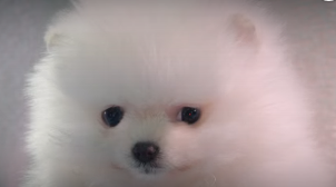 Softbank犬