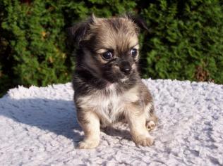 子犬のチワワは特に健康に気を付けたい