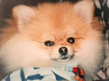 健康的なポメラニアンの子犬を選ぼう