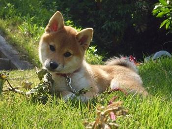 柴犬の赤ちゃん 画像