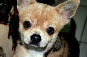 チワワはIQの高い犬種。教えは守ります