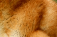 柴犬の被毛