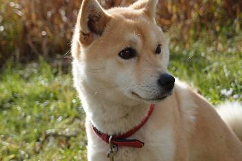 (日本犬(柴犬や秋田県など)は痴呆症にかかりやすい!)