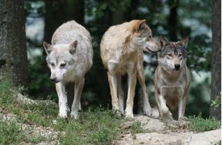 オオカミは集団で行動し、仲間意識が強い事でも有名